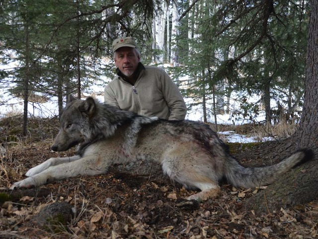 trophy wolf hunt